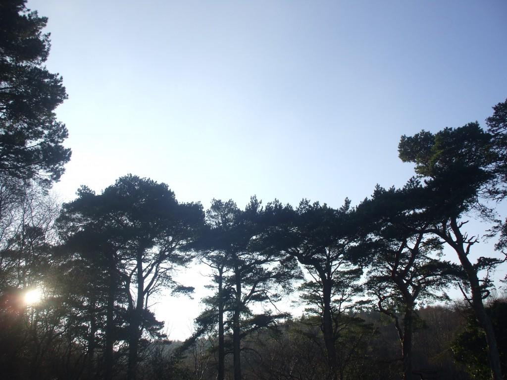 Native trees of Ireland, Scots Pine