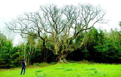Oak, The Brian Boru