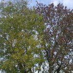 Ash tree - Thursday Trees