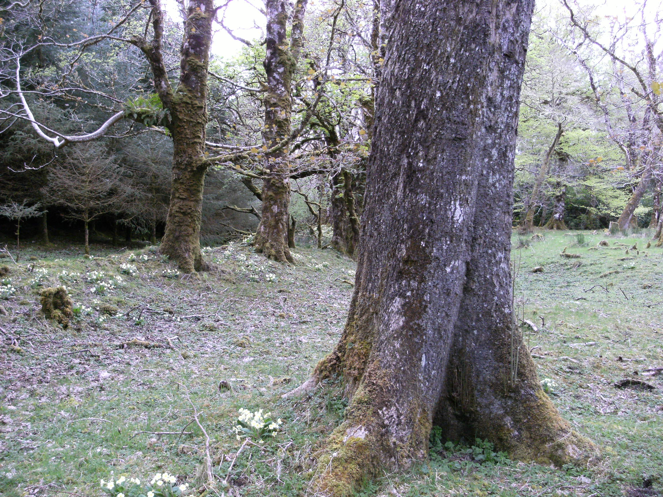 Sycamore and Primrose, north Mayo