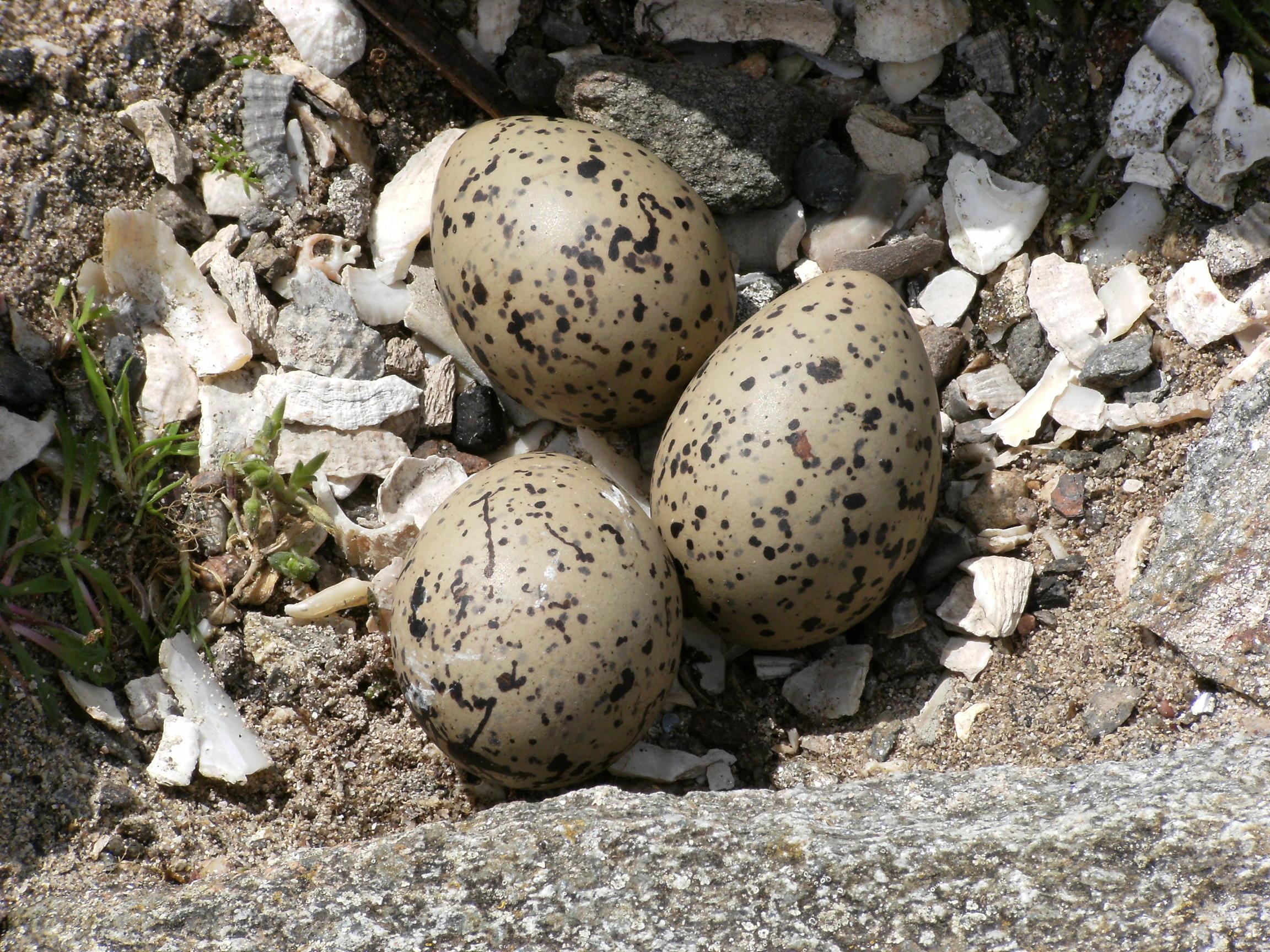 Mayo in May 2009 - Oystercatcher Eggs, Iniskea