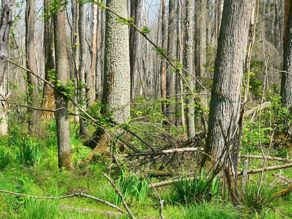 Bialowieza trees