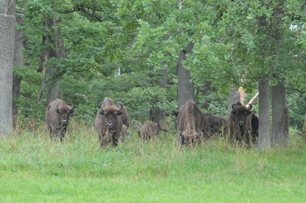 Bialowieza Bison