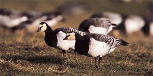 Birds - Barnacle Goose
