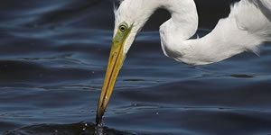 Birds - Great White Egret