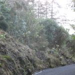 Mulranny Cycleway - Rhododendron infestation