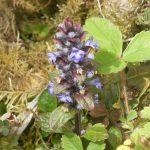 Bugle, Clonbur Wood