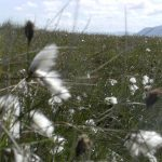 Cottongrass (bog cotton)