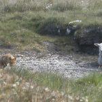 Sheep and Fox 2