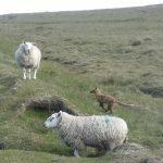 Sheep and Fox 3