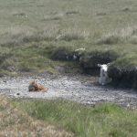 Sheep and Fox 1