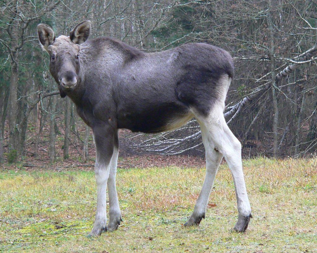 Poland wildlife tour - Elk