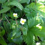 Wildflowers Wild Strawberry