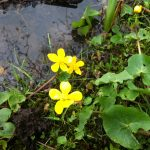 Wildflowers Marsh Marigold