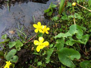 Spring wildflowers of mayo Marsh Marigold