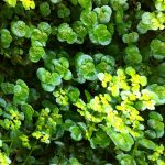 Spring wildflowers of mayo Opposite-Leaved Golden Saxifrage