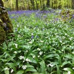 Wildflowers Wild Garlic & Bluebell