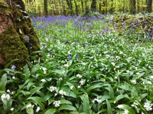 Spring wildflowers of mayo Wild Garlic & Bluebell