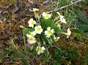 Spring wildflowers of mayo Primrose