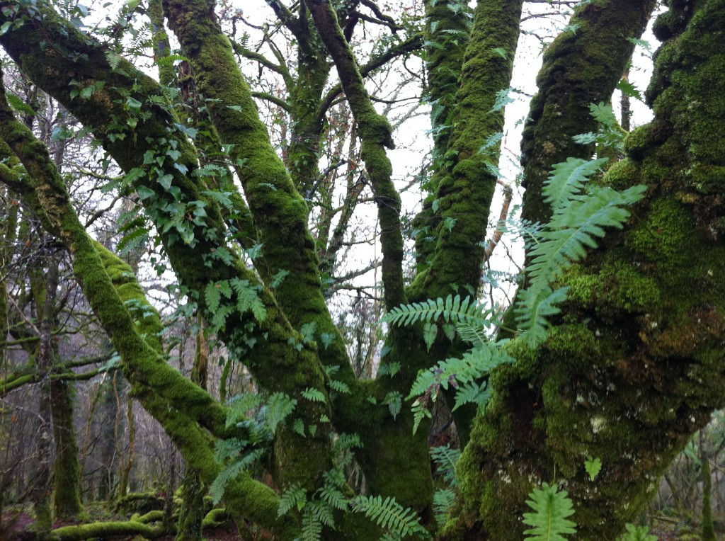 Knockma Wood fern