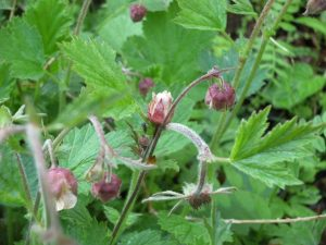 Wildflowers - Water Avens