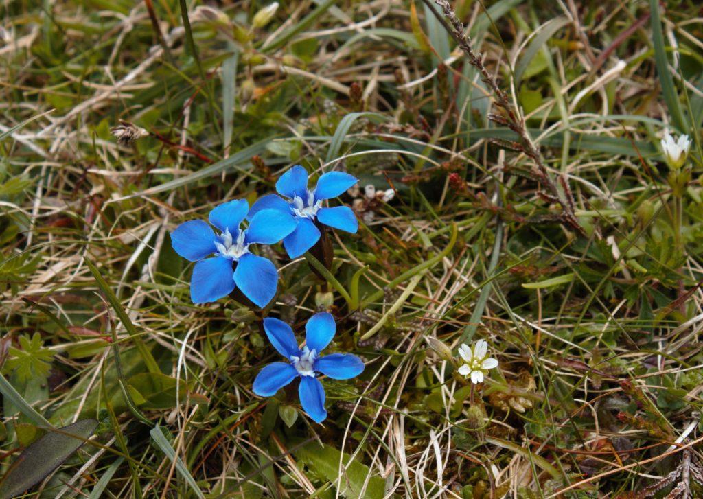 Spring Gentian Inis Mór