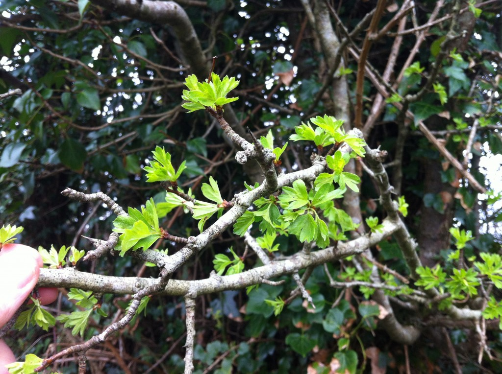 Hedge Whitethorn