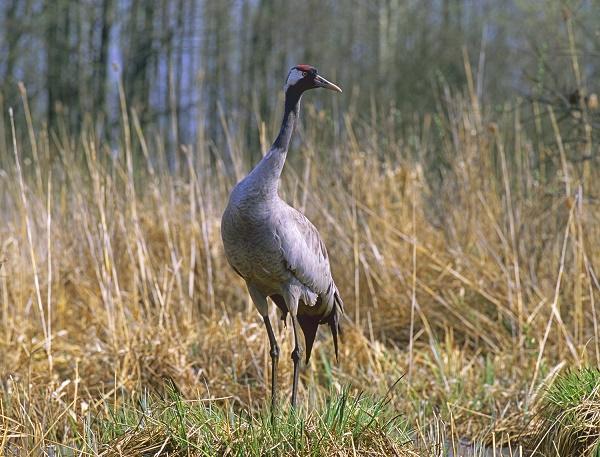 Poland birdwatching & wildlife tour
