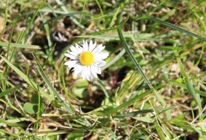 spring wildflowers of mayo daisy