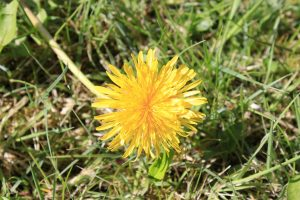 spring wildflowers of mayo dandelion