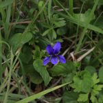 spring wildflowers of mayo dog violet