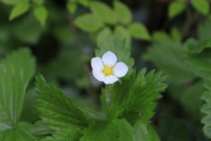 spring wildflowers of mayo wild strawberry