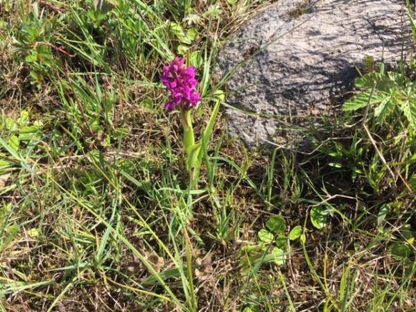 Day out by Lough Conn Early Marsh Orchid